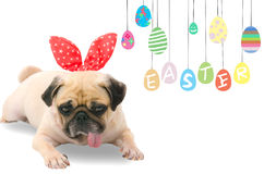Happy Easter Day. A young cute dog puppy Pug wearing Easter rabbit Bunny ears sitting next to a pastel colorful of eggs with copy Stock Photos