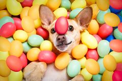 Happy easter dog with eggs. Happy easter chihuahua dog lying in bed full of funny colourful eggs ,balancing a red egg on the nose, for the holiday season stock photos