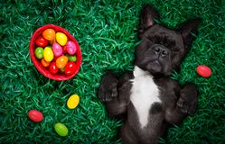 Happy easter dog with eggs. Funny happy french bulldog easter bunny dog with a lot of eggs around on grass and basket , sleeping and resting this season royalty free stock image