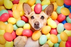 Happy easter dog with eggs stock images