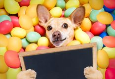 Happy easter dog with eggs Stock Photo