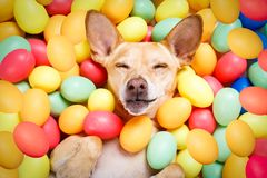Happy easter dog with eggs. Happy easter dog lying in bed full of funny colourful eggs , sleeping or resting the holiday season royalty free stock photo