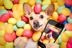 Happy easter dog with eggs selfie. Happy easter dog lying in bed full of funny colourful eggs , taking or sharing a selfie , with smartphone or cell phone royalty free stock photography