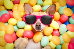 Happy easter dog with eggs. Happy easter dog lying in bed full of funny colourful eggs , wearing silly sunglasses for the holiday season royalty free stock images