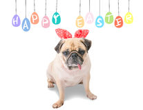 Happy Easter. Dog Pug wearing rabbit bunny ears sitting near pastel colorful eggs with copy space. Royalty Free Stock Photos