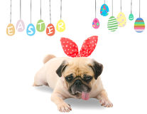 Happy Easter. Dog Pug wearing rabbit bunny ears sleep rest near pastel colorful eggs with copy space. Stock Photography