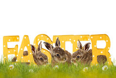 Happy Easter; easter bunny Royalty Free Stock Photo