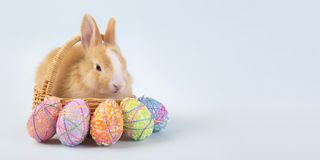 Happy easter eggs collection, Cute brown rabbit bunny with basket and eggs paint blue background stock photo