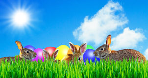 Happy easter rabbit with easte eggs. Easter rabbit sitting on a meadow with easter eggs Royalty Free Stock Photography