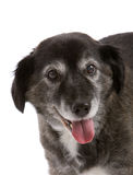 Happy elderly dog Royalty Free Stock Image