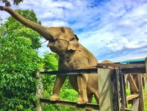 Happy Elephant!. This Elephant is full of happiness since it got so many sugar palm to eat! This is a great shot of Elephant standing and getting for more sugar royalty free stock images