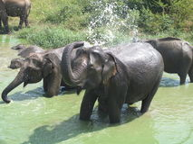 Happy Elephant family in water Stock Photo