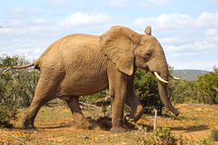 Happy Elephant Walk. Just a happy Elephant in South Africa Stock Photo