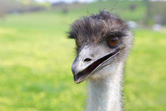 Happy emu. Australian native flightless bird, with soft brown feathers and a long neck.  Although flightless, they can sprint up to 50km hour Royalty Free Stock Photography
