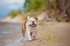 Happy English bulldog on the beach Royalty Free Stock Images