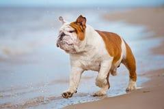 Happy English bulldog on the beach Stock Image