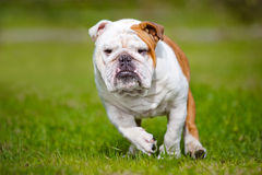 Happy English bulldog running outdoors Royalty Free Stock Image