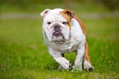 Happy English bulldog running outdoors Royalty Free Stock Image