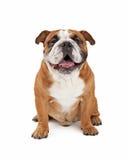 Happy English Bulldog Sitting Stock Photography