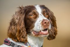 Outdoor happy dog portrait. Happy English Springer Spaniel pet dog portrait with an outdoor natural blurred bokeh background Stock Photos