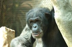 A happy expression from Common chimpanzee in high branches. Sitting and relaxing after long day. He has black fur with grey stains.  royalty free stock photo