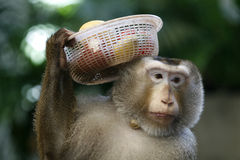 Happy face. A Monkey carry some fruits on his head Royalty Free Stock Photography