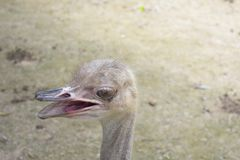 Happy face of the ostrich stock images