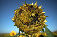 Happy face Sunflower Royalty Free Stock Image