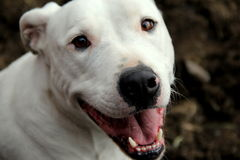 Happy face of white Pit Bull breed Royalty Free Stock Photo