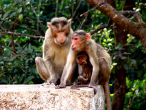 Happy Family. A happy family of Indian monkeys Royalty Free Stock Images