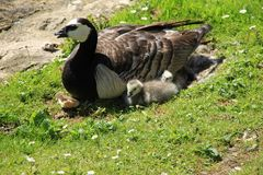 Happy family, Barnacle Geese along the pond in England in the summer. Close-up, the female Barnacle Goose is brooding on the eggs and two young ones are sitting royalty free stock image