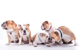 Happy family of bulldogs Royalty Free Stock Photo