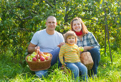 Happy family gathers apples in the garden Stock Photo