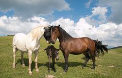 Happy family of horses. Happy family of wild horses in mountain Royalty Free Stock Images