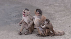 Happy family (in monkey's conception). Urban population of White-fronted Capuchin Monkeys (Cebus albifrons), Misahualli, Ecuador Stock Photo