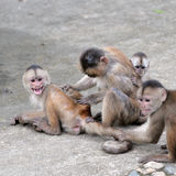Happy family in monkey's conception. Happy family (in monkey's conception) in Misahualli, Amazon, Ecuador Royalty Free Stock Photography