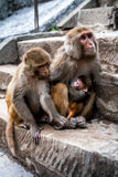 Happy family of monkeys with amusing baby. Royalty Free Stock Photography