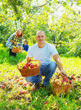 Happy  family picks apples Stock Images