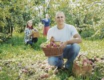Happy  family picks apples Royalty Free Stock Photos