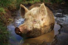 Happy Farm Pig royalty free stock photography