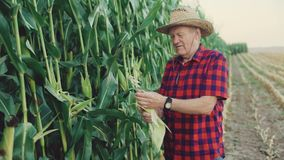 Happy farmer checking and shows the good corn harvest 4K.  stock video