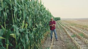 Happy farmer checking and shows the good corn harvest 4K.  stock footage