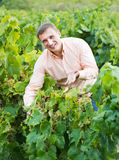Happy farmer checking wine grape and leaves royalty free stock photo