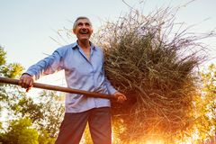 Happy farmer man gathers hay with pitchfork at sunset in countryside. Agriculture and farming concept stock photo
