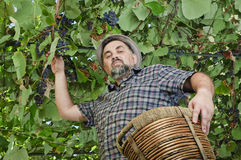 Happy farmer in suspended vineyard Royalty Free Stock Image