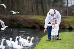 Happy father and his toddler daughter feeding geese. Happy young father and his adorable toddler daughter feeding white geese in a beautiful winter park with a Stock Image