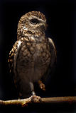 Happy Feet. Owl with huge eyes perching on tree branch and resting one foot Stock Photography
