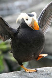 Happy feet - Tufted puffin Stock Photos