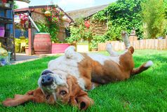 Happy female basset hound play and laying down on green grass Stock Images
