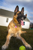 German Shepherd Dog Outside With Ball Stock Photos